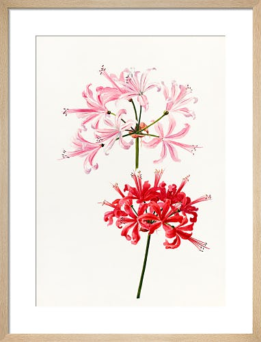 Nerine bowdenii 'Pallida' by Lillian Snelling