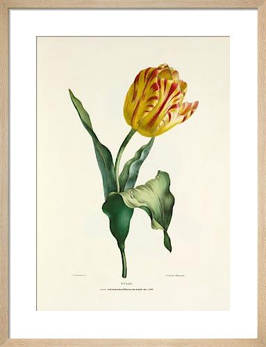 Tulip by Charles Joseph Hullmandel