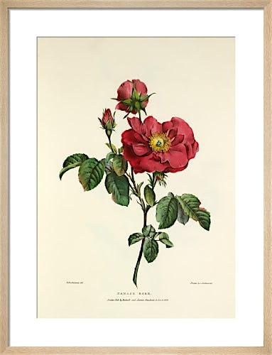 Damask Rose by Charles Joseph Hullmandel