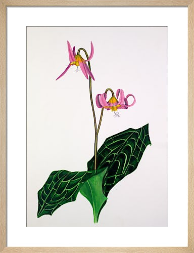 Erythronium 'Rose Beauty' by John Paul Wellington Furse