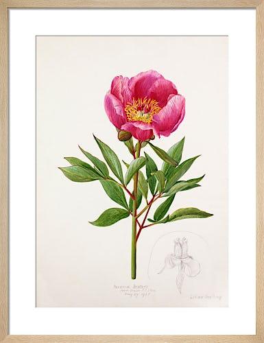 Paeonia broteri by Lillian Snelling