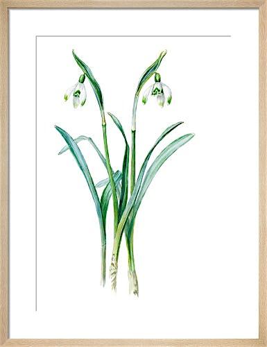 Galanthus nivalis maximus of van Tubergen by Edward Augustus Bowles