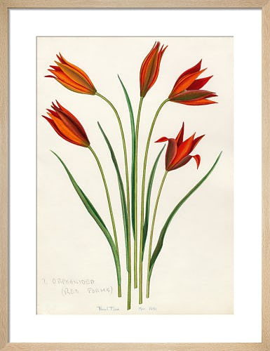 T. orphanidea (Red Forms) by John Paul Wellington Furse