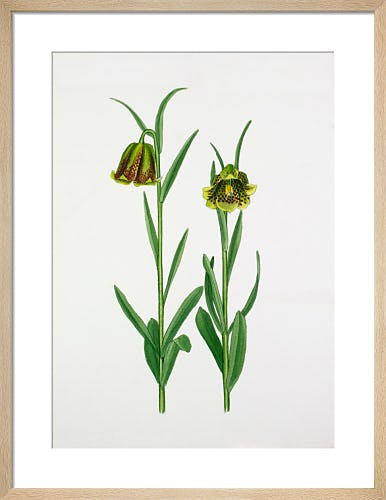 Fritillaria pyrenaica, Pale Forms by John Paul Wellington Furse