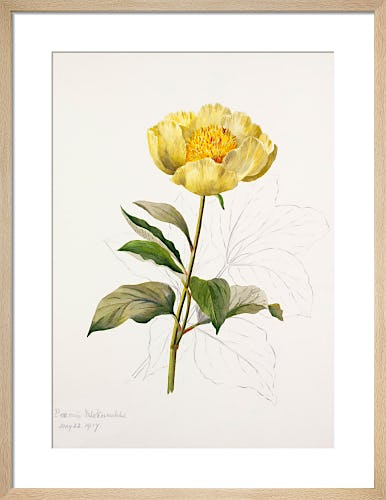 Paeonia mlokosewitschii by Lillian Snelling
