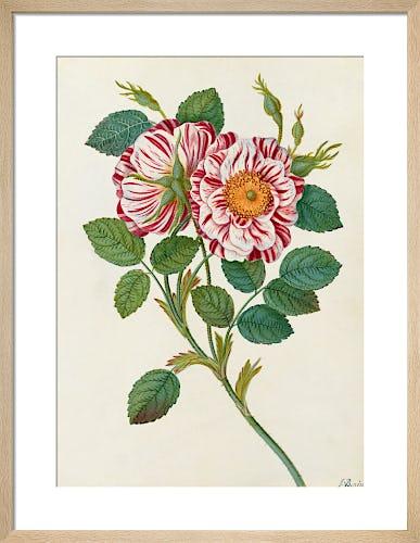 Striped or Premestine Rose by James Bolton