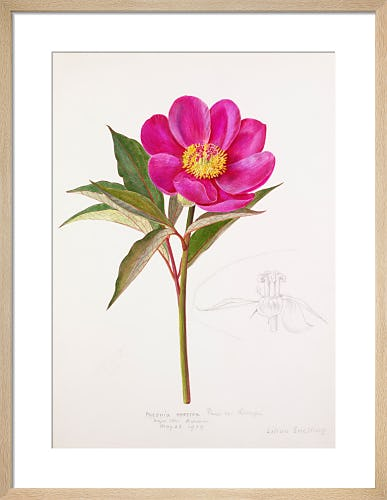 Paeonia russoi var. leiocarpa by Lillian Snelling