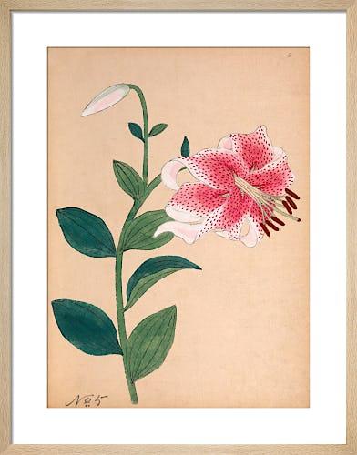 Lilium speciosum from Royal Horticultural Society (RHS)