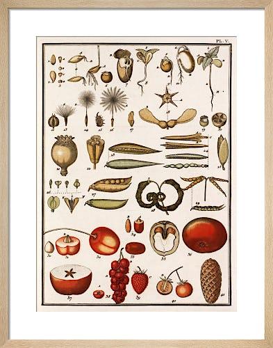 Plate V by Jean Baptiste Francois Bulliard