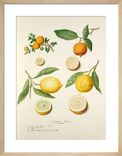 Oranges et Citrons II by Pierre Francois Ledoulx