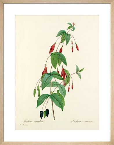 Fuchsia écarlate : Fuchsia coccinea by Pierre Joseph Celestin Redouté
