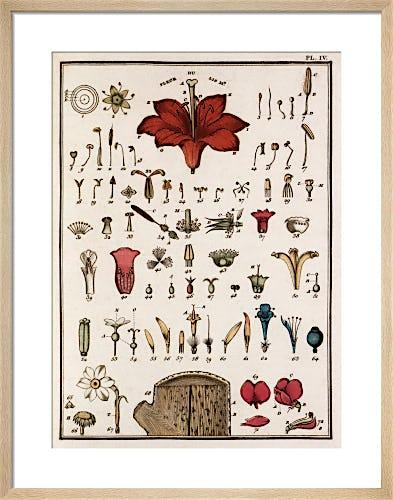 Plate IV by Jean Baptiste Francois Bulliard