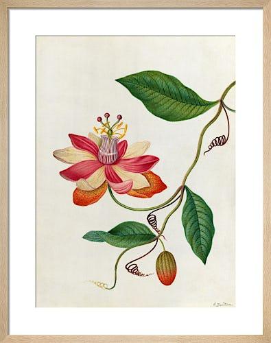 Monier's Passion Flower by James Bolton