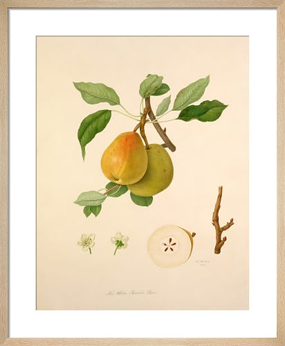 The White Buerrée Pear by William Hooker