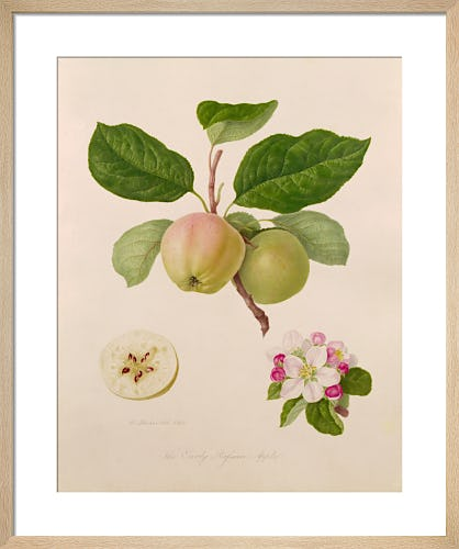 The Early Russian Apple by William Hooker