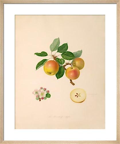 The Borsdorff Apple by William Hooker