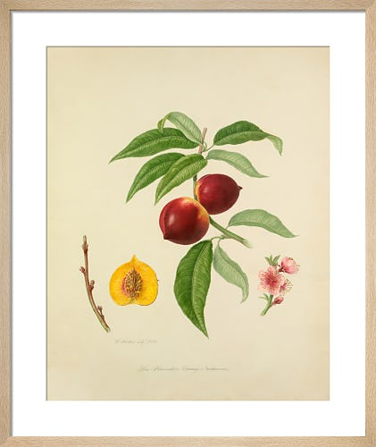 The Persimmon Orange Nectarine by William Hooker