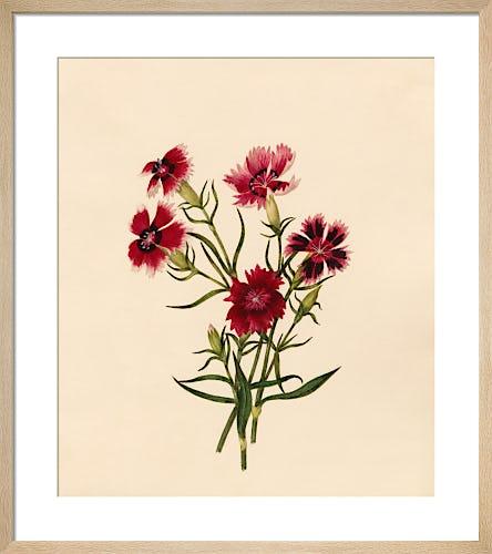 Dianthus chinensis (II) by Caroline Maria Applebee
