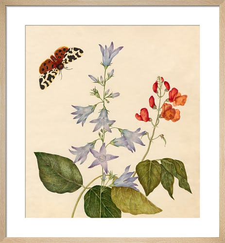 Campanula rapunculus, Phaseolus multiflorus by Caroline Maria Applebee