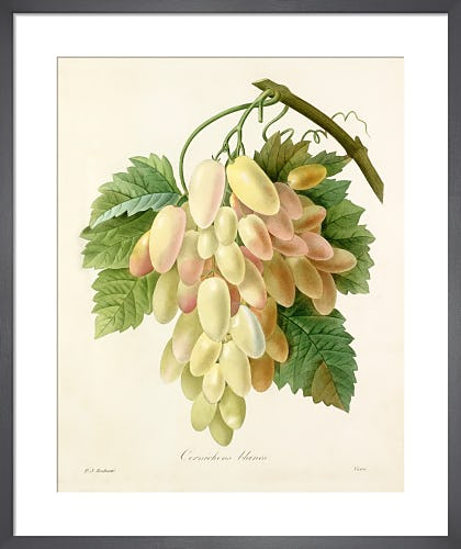 Cornichons blancs by Pierre Joseph Celestin Redouté