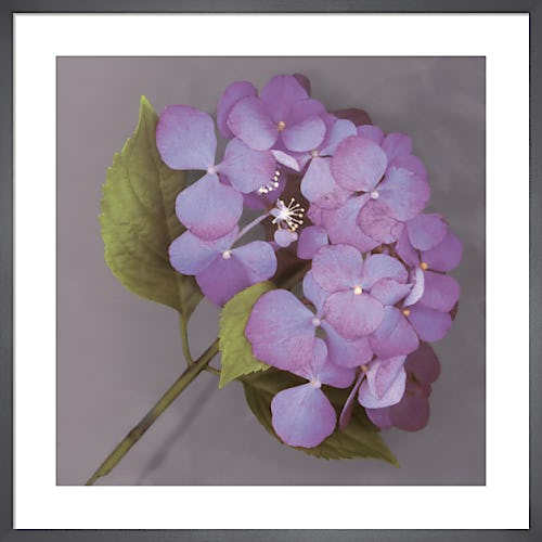 Purple Hydrangea by Erin Clark