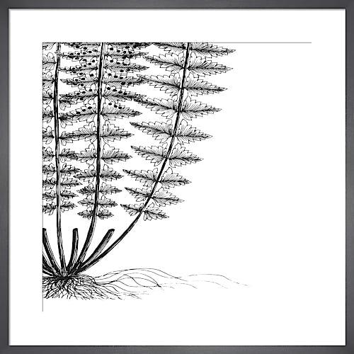 Fern IV (on white) by Botanical Series