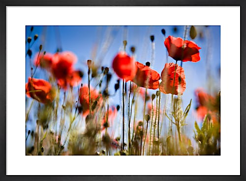 Poppies by David Purdie