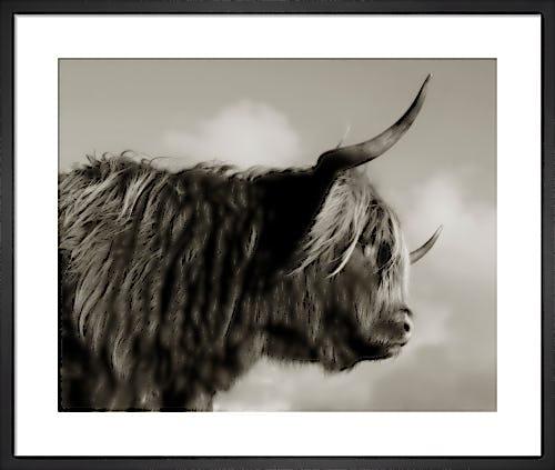 Highland Cattle Study I by Chris Tancock
