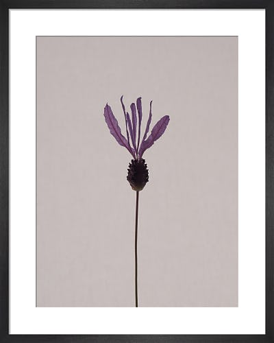 Lavender by Claire Brooker