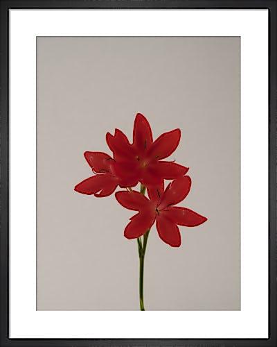 Kaffir Lily by Claire Brooker