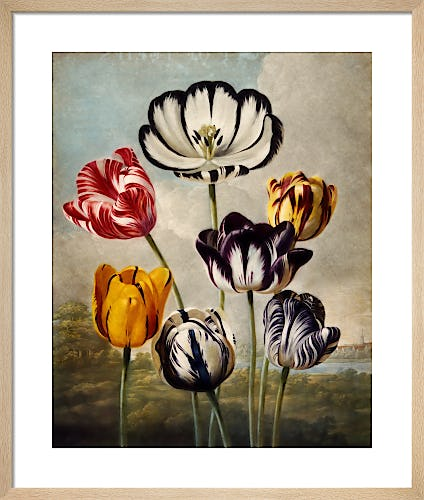 Tulips by Robert John Thornton