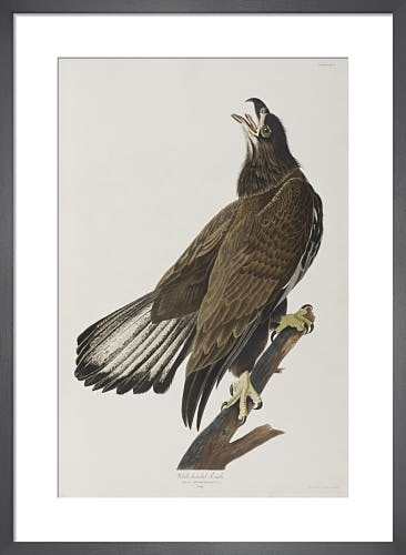 White-headed Eagle by John James Audubon