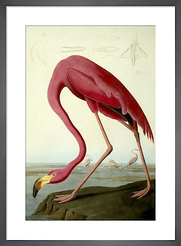 John James Audubon Prints John James Audubon Posters Framed Pictures King Mcgaw