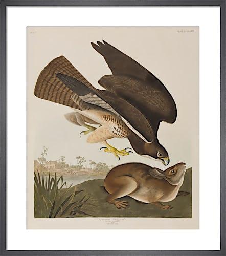 Common Buzzard by John James Audubon