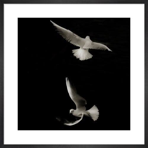 Seagull Study II by Chris Tancock