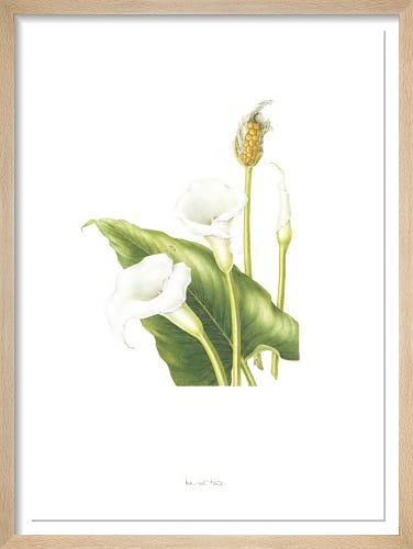 Plate 7 Zantedeschia aethiopica by Margaret King