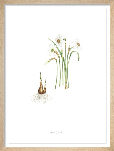 Plate 16 Narcissus poeticus by Sarah Gould
