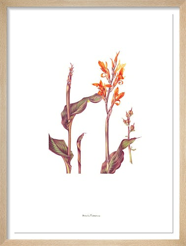 Plate 25 Canna indica Purpurea by Annie Patterson