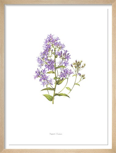 Plate 119 Campanula lactiflora by Rachael Dawson