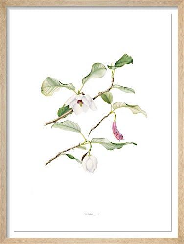 Plate 6 Magnolia sieboldii by Mayumi Hashi