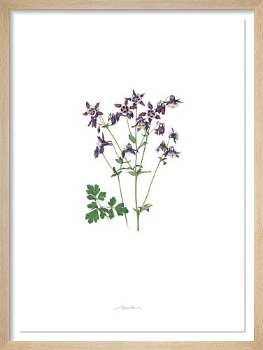 Plate 31 Aquilegia vulgaris William Guiness by Kate Nessler