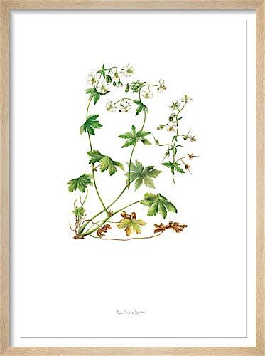 Plate 45 Geranium phaeum Album by Marie-Christine Bouvier