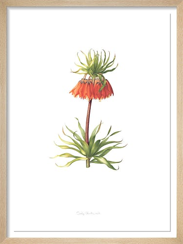 Plate 9 Fritilleria imperialis by Sally Crosthwaite