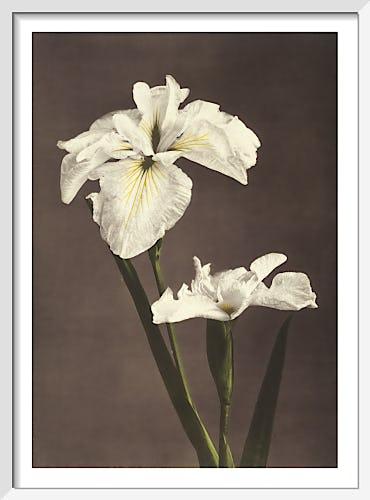 Iris Kæmpferi, from Some Japanese Flowers by Ogawa Kazumasa