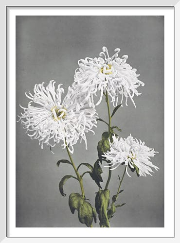 Chrysanthemum, from Some Japanese Flowers by Ogawa Kazumasa