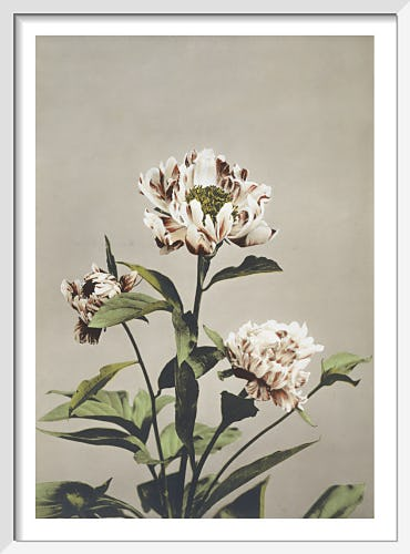 Haerbaceous Paeony, from Some Japanese Flowers by Ogawa Kazumasa