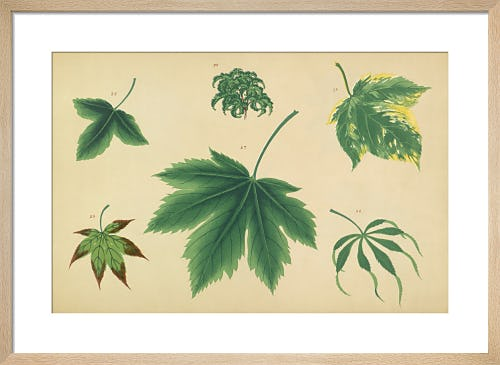 Maple Leaves I from Royal Horticultural Society (RHS)