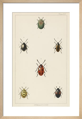 Plate XV 'British Beetles' by E.W. Robinson