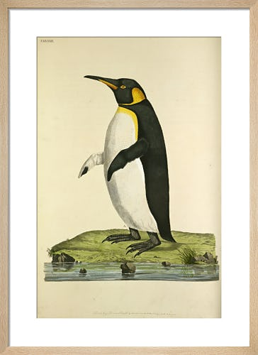 King Penguin by John Frederick Miller