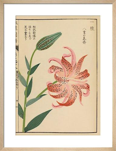 Tiger Lily by Iwasaki Tsunemasa